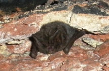 bat hibernating